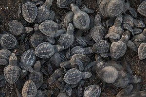Olive ridley sea turtle (Lepidochelys olivacea) hatchlings emerge from the nest, Pacific Coast, Ostional, Costa Rica.  -  Ingo Arndt