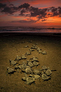 Olive ridley sea turtle (Lepidochelys olivacea) hatchlings emerge from the nest and making their way to the sea at sunrise, Pacific Coast, Ostional, Costa Rica.  -  Ingo Arndt
