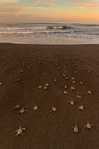 Olive ridley sea turtle (Lepidochelys olivacea) hatchlings on the way to the sea right after emerging from the egg, Pacific Coast, Ostional, Costa Rica.  -  Ingo Arndt