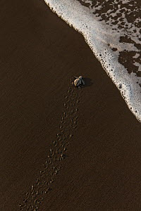 Olive ridley sea turtle (Lepidochelys olivacea) hatchling on its way to the sea right after emerging from the egg leaving tracks in the sand, Pacific Coast, Ostional, Costa Rica.  -  Ingo Arndt