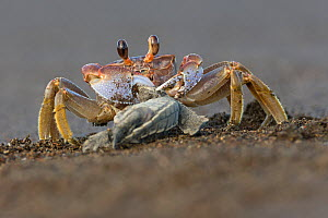 Fiddler crab (Uca sp) feeding on Olive ridley sea turtle hatchling (Lepidochelys olivacea) Pacific Coast, Ostional, Costa Rica.  -  Ingo Arndt
