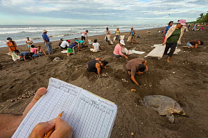 Villagers collecting eggs from Olive ridley sea turtles (Lepidochelys olivacea) during the first two days of the arribada (mass nesting event). This is the only place in the world where it is legal to...  -  Ingo Arndt