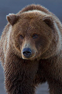 Grizzly bear (Ursus arctos horribilis) portrait, Lake Clark National Park, Alaska, USA, September.  -  Ingo Arndt