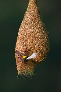Baya weaver (Ploceus philippinus) female with nesting material (feather) on nest, Singapore. (Sequence image 1 of 5) - Ingo Arndt