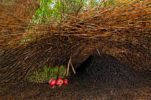 Bower of Vogelkop bowerbird (Amblyornis inornatus) front entrance of bower decorated with red fruit and acorns, Arfak Mountains, West Papua, Indonesia.  -  Ingo Arndt