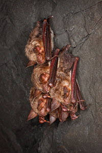Greater mouse-eared bat (Myotis myotis) group of three, hibernating in cave, Germany, February.  -  Ingo Arndt