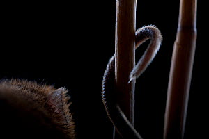 Harvest Mouse (Micromys minutus) using tail whilst climbing in reed, Germany, captive. - Ingo Arndt