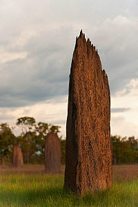 Magnetic Termite (Amitermes meridionalis) mounds in grassland, Litchfield National Park, Northern Territory, Australia.  -  Ingo Arndt