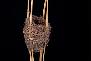 Reed Warbler (Acrocephalus scirpaceus) nest in Senckenberg Natural Hystory Collection Dresden, Germany.  -  Ingo Arndt