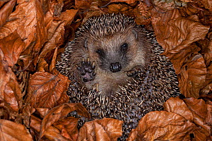 Hedgehog (Erinaceus europaeus) hibernating hidden in leaves, Germany, captive. - Ingo Arndt
