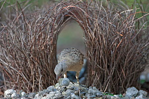 Great Bowerbird (Chlamydera nuchalis) male decorating courting bower with snail shell, Litchfield National Park, Australia.  -  Ingo Arndt