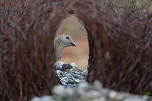 Great Bowerbird (Chlamydera nuchalis) male at courting bower, Litchfield National Park, Australia.  -  Ingo Arndt