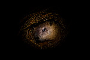 Woodchuck (Marmota monax) hibernating in burrow, Minnesota, USA, captive.  -  Ingo Arndt