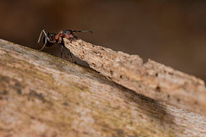 Red Wood Ant (Formica rufa) carrying large piece of construction material to anthill, Germany, March.  -  Ingo Arndt