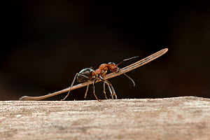 Red wood ant (Formica rufa) carrying construction material to anthill (fir needle), Germany.  -  Ingo Arndt