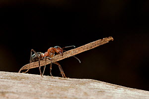 Red wood ant (Formica rufa) carrying construction material to anthill (fir needles), Germany.  -  Ingo Arndt