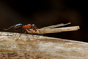 Red wood ant (Formica rufa) carrying construction material to anthill (plant stem), Germany.  -  Ingo Arndt