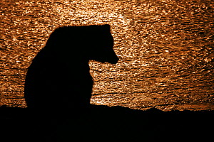 Grizzly bear (Ursus arctos horribilis) silhouette at sunset, Lake Clark National Park, Alaska, USA, July. - Ingo Arndt