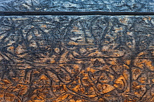 Bark beetle (Scolytinae) 'galleries' or tracks in the wood of dead spruce tree, Yellowstone National Park, USA. - Ingo Arndt