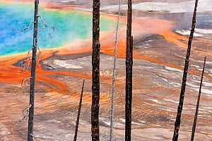 Burned trees in front of Grand Prismatic Spring, Midway Geyser Basin, Yellowstone National Park, Wyoming, USA, September 2011. - Ingo Arndt