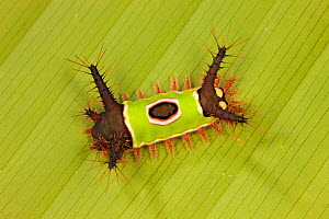 Saddleback caterpillar (Acharia sp.) with stinging and poisonous spines and bright warning colouration, in tropical rainforest, Costa Rica. - Ingo Arndt