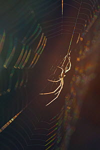 Long-jawed orb weaver spider (Tetragnatha nigrita) on web, Germany. - Ingo Arndt