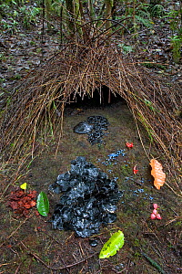 Bower of Vogelkop Bowerbird (Amblyornis inornatus) decorated with various types of leafs, beetle wing covers, black and brown fungi, red flowers and blue berries, Arfak Mountains, West Papua, Indonesi... - Ingo Arndt