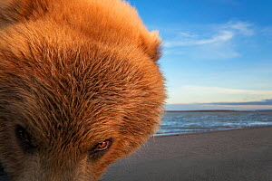 Grizzly bear (Ursus arctos horribilis) picture taken with a remote camera car, Alaska, July. - Ingo Arndt