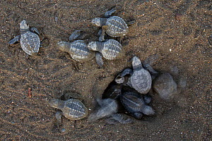 Olive ridley sea turtle (Lepidochelys olivacea) hatchlings emerging from nest and making their way to the sea at sunrise, Pacific Coast, Ostional, Costa Rica.  -  Ingo Arndt