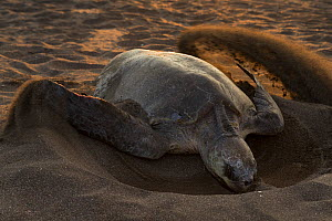 Olive ridley sea turtle (Lepidochelys olivacea) female digging nest on beach for laying eggs, Pacific Coast, Ostional, Costa Rica.  -  Ingo Arndt