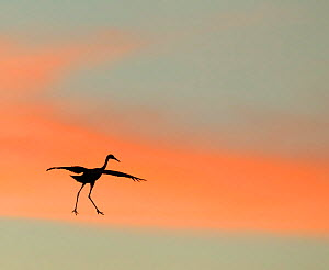 Sandhill crane (Grus canadensis) landing at sunset. North America.  Highly honoured in the Art in Nature category of the Nature's Best Photography Windland Smith Rice International Awards Competition...  -  Diane  McAllister