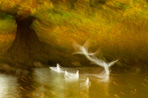Black headed gull (Chroicocephalus ridibundus) taking flight, artistically blurred photograph. Cheshire, UK, October. Highly honoured in the Art in Nature category of the Nature's Best Windland Smith... - Ben  Hall