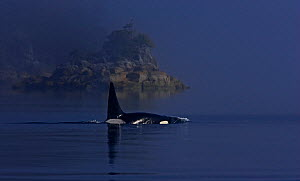 Orca (Orcinus orca) transient race, Clayoquot Sound, Vancouver Island, Canada, August.  -  Matthew Maran