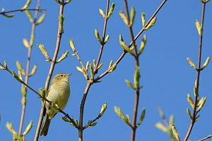 Chiffchaff (Phylloscopus collybita) among tree leaf buds in spring, Wiltshire, UK, May. - Nick Upton