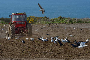 Mixed flock of Herring gulls (Larus argentatus) and Rooks (Corvus frugilegus) following a tractor ploughing a clifftop field with the sea in the background, Trebetherick, Cornwall, UK, April.  -  Nick Upton