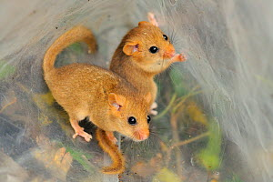Two young Common / Hazel dormice (Muscardinus avellanarius), captured during a survey in coppiced woodland near Bristol, being held temporarily in a plastic sack, Somerset, UK, October. Non-ex. Winner... - Nick Upton