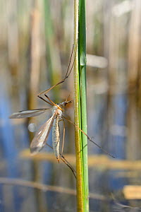 Male Cranefly (Tipula sp.) clinging to a reed stem in a freshwater pond, Wiltshire, UK, May. - Nick Upton