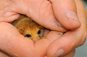 Adult Common / Hazel dormouse (Muscardinus avellanarius), held gently in human hands during a survey in coppiced woodland near Bristol, Somerset, UK, October. Model released. Non-ex.  -  Nick Upton