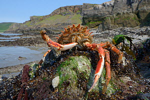 Male Common spider crab (Maja brachydactyla / Maja squinado) in defensive posture exposed on rocky shore on a very low spring tide, Rhossili, The Gower Peninsula, UK, June.  -  Nick Upton