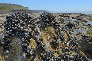 Common mussels (Mytilus edulis), Dog Whelks (Nucella lapillus) and Common barnacles (Semibalanus balanoides) attached to rocks exposed at low tide, Rhossili, The Gower peninsula, Wales, UK, June.  -  Nick Upton