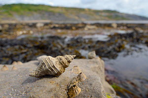 European oyster drill / Sting winkle (Ocenebra erinacea) a pest of oyster beds, on rocks low on the shore alongside Acorn barnacles (Balanus perforatus) exposed at low tide, with seaweed, rock pools a...  -  Nick Upton