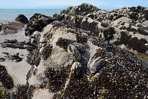 Recenty settled young Common mussels (Mytilus edulis) alongside barnacle encrusted adults on rocks exposed on a rocky shore at low tide, Rhossili, The Gower Peninsula, UK, June.  -  Nick Upton
