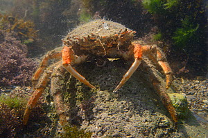 Female Common spider crab (Maja brachydactyla / Maja squinado) standing on a boulder in a rockpool low on the shore, Rhossili, The Gower Peninsula, UK, June.  -  Nick Upton