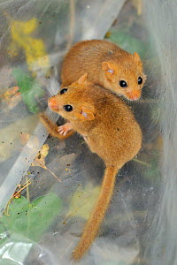 Two young Common / Hazel dormice (Muscardinus avellanarius), captured during a survey in coppiced woodland near Bristol, being held temporarily in a plastic sack, Somerset, UK, October. Non-ex.  -  Nick Upton