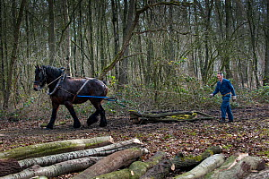 Forester dragging tree-trunks from forest with Belgian draft / draught horse (Equus caballus) Belgium. March 2013.  -  Philippe Clement