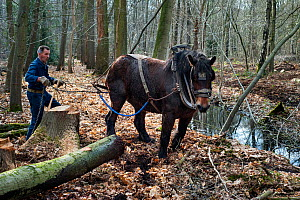 Forester dragging tree-trunk from dense forest with Belgian draft / draught horse (Equus caballus), Belgium.March 2013 - Philippe Clement