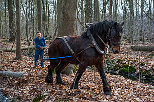 Forester dragging tree-trunk from dense forest with Belgian draft / draught horse (Equus caballus), Belgium. March 2013. - Philippe Clement