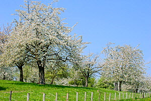 Orchard with cherry trees blossoming (Prunus avium) in spring, Haspengouw, Belgium. May 2013.  -  Philippe Clement