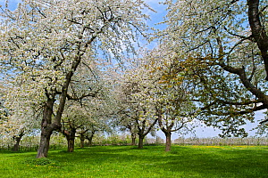 Cherry tree orchard with  trees in blossom (Prunus avium) in spring, Haspengouw, Belgium. May 2013.  -  Philippe Clement