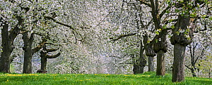 Orchard with cherry trees blossoming (Prunus avium) in spring, Haspengouw, Belgium.May 2013  -  Philippe Clement